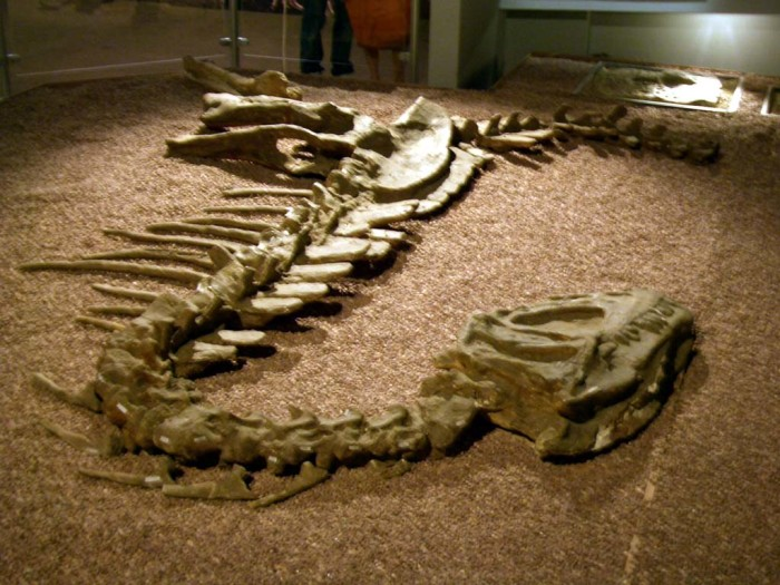 Pictures of Dinosaur Fossils - Hadrosaurs