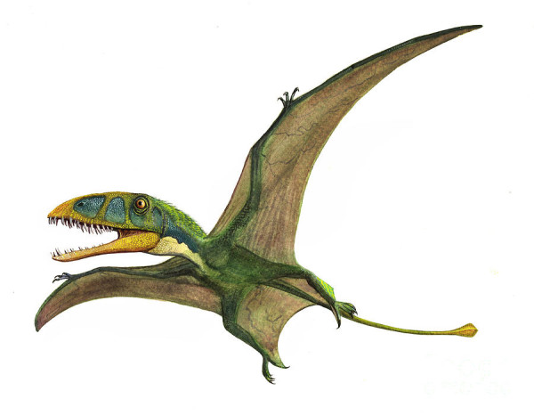 Dinosaurs That Fly : Dimorphodon