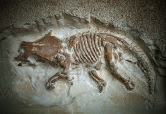 Pictures of Dinosaur Fossils - Triceratops