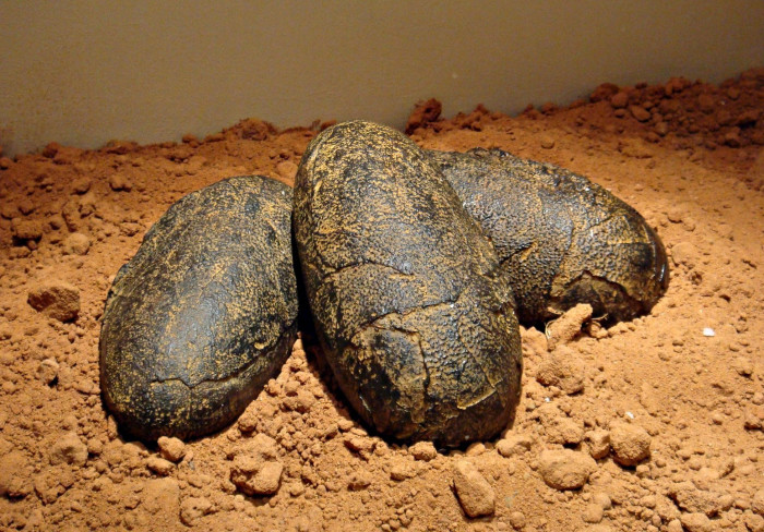 Dinosaurs Fossil Facts - Fossilized Eggs