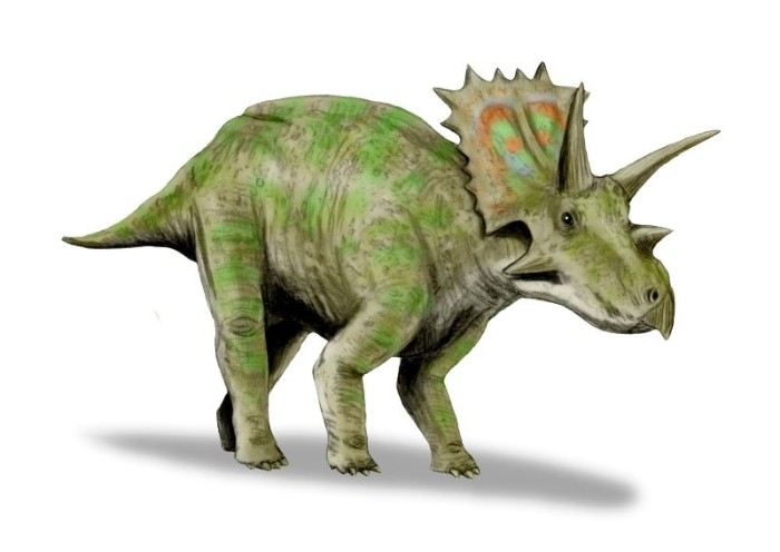 Adult agujaceratops size