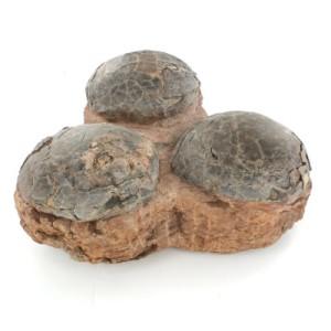 Dinosaur Three Egg Hadrosaur Nest Fossil