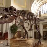 dinosaur bones found 2013 – T-Rex
