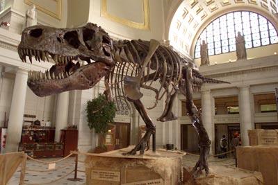 dinosaur bones found 2013 - T-Rex
