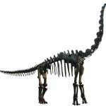 Dinosaur Bones – Brachiosaurs