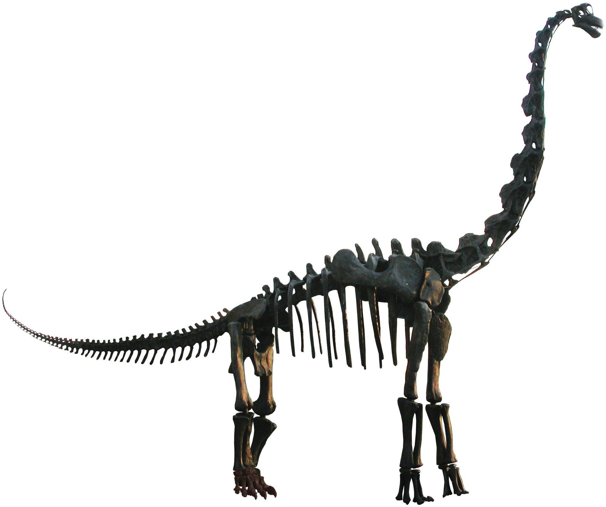Dinosaur Bones - Brachiosaurs