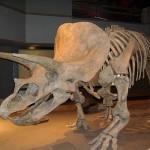 Dinosaur Bones – Triceratops