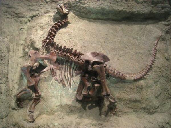 Pictures of Dinosaur Fossils – Camarasaurus Lentus