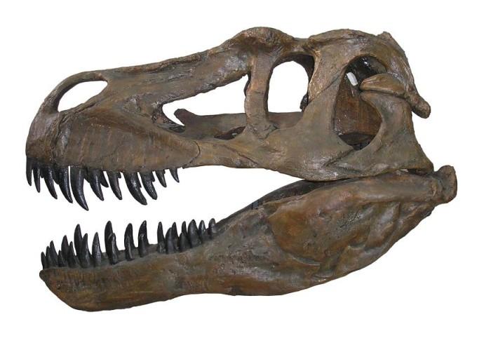 Largest Dinosaurs skeleton