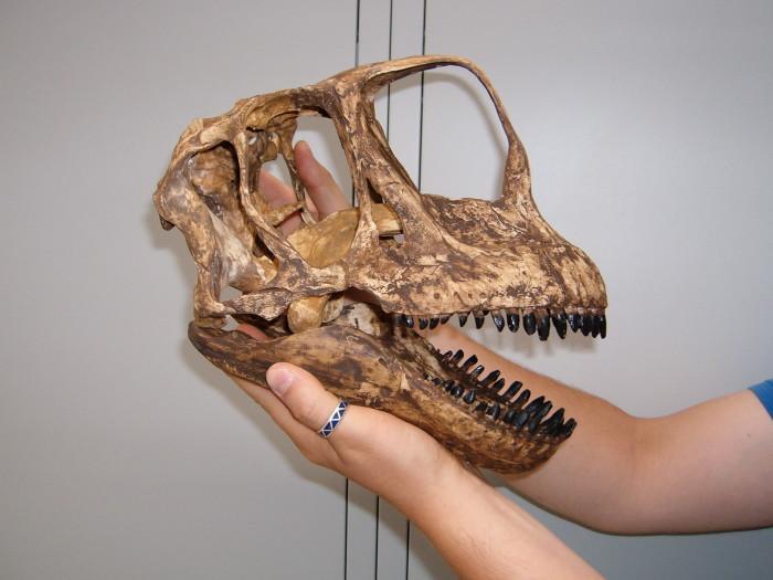 europasaurus fossils