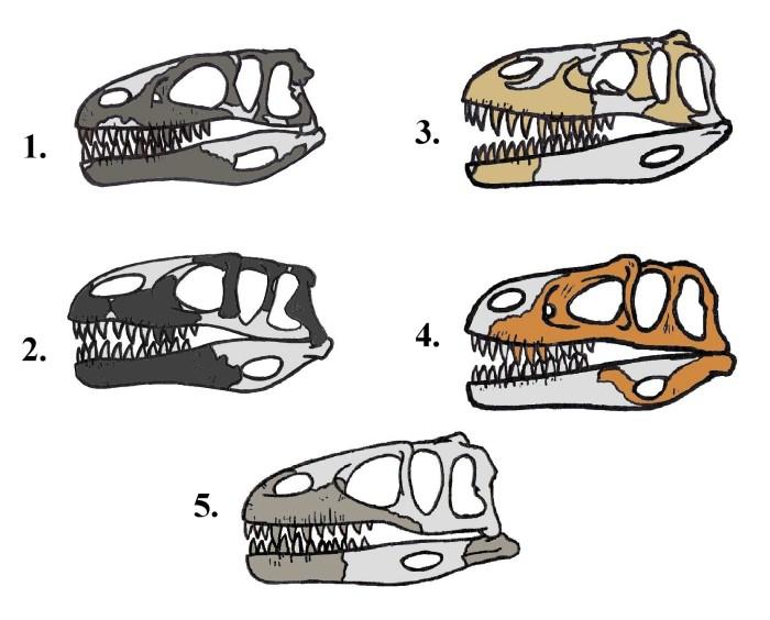 Dinosaur Skeleton Comparison