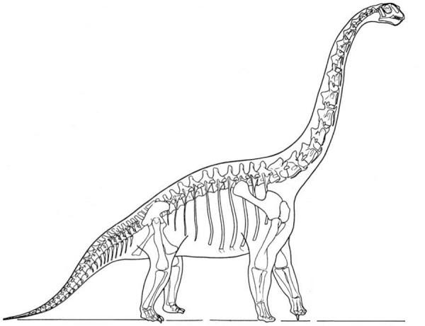Brachiosaurus dinosaur skeleton coloring page