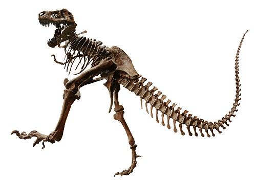 tyrannosaurus rex fossil found