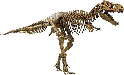 tyrannosaurus rex fossils picture